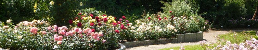 rosensorten rosarium uetersen. Black Bedroom Furniture Sets. Home Design Ideas